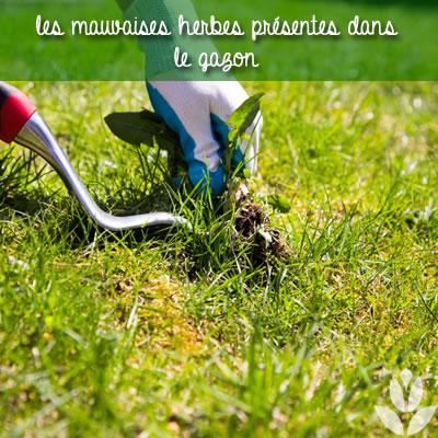 les mauvaises herbes du gazon