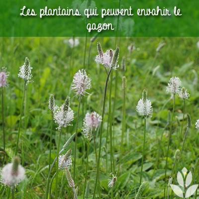 plantains sur gazon