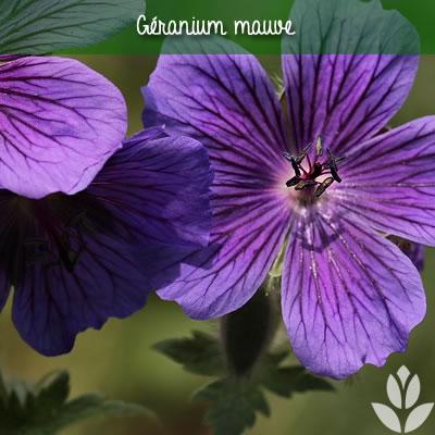 géranium vivace mauve
