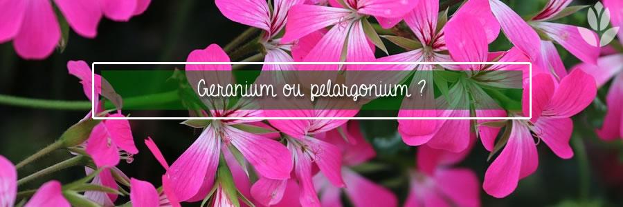 geranoium ou pelargonium ?
