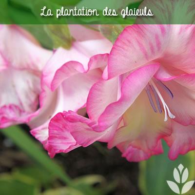 la plantation des glaïeuls