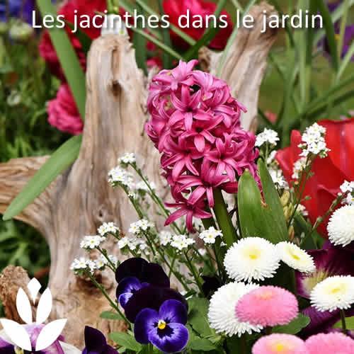 jacinthes dans le jardin