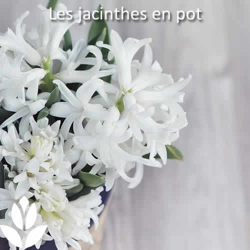 jacinthes en pot