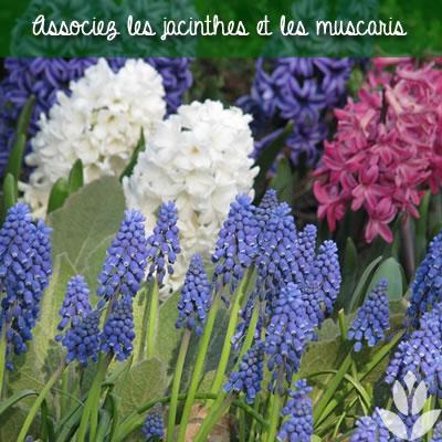 associer les jacinthes et les muscari au jardin