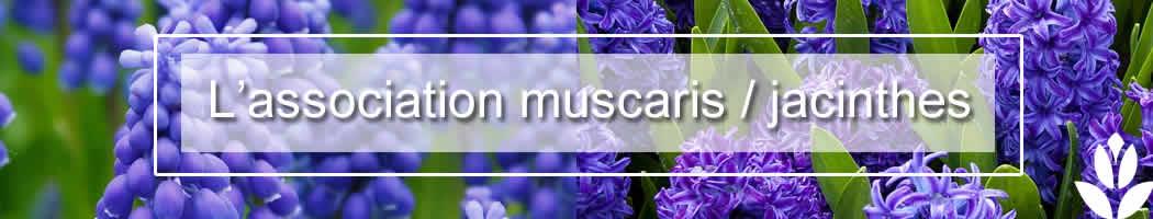 muscari et jacinthe