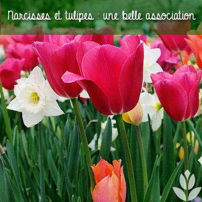 narcisses et tulipes