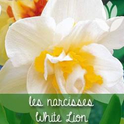 narcisses white lion