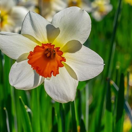 les narcisses du jardin
