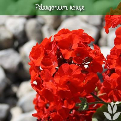 pélargonium rouge