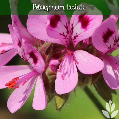 pélargonium tacheté