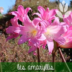 amaryllis rongeurs