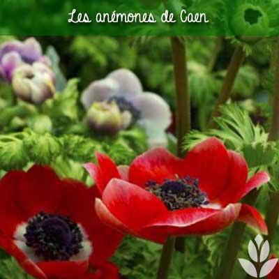 anemone de_caen