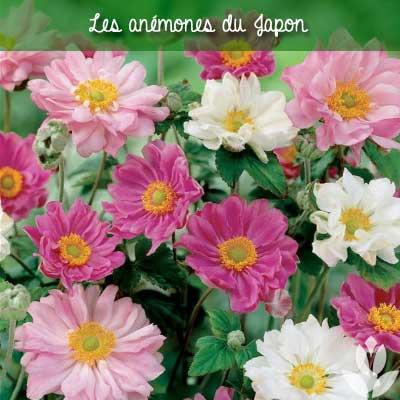 anemones du japon