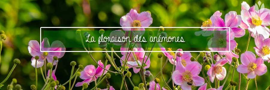 la floraison des anémones