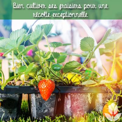bien cultiver les fraisiers