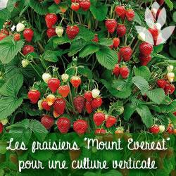 fraisier pour une culture verticale