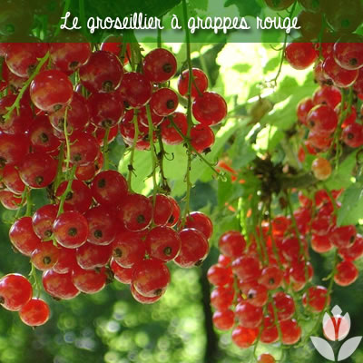 groseillier à grappes rouge