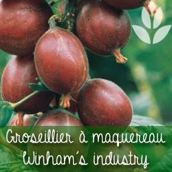 groseillier à maquereau winham's industry