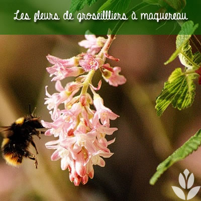 fleurs de groseillier à maquereau