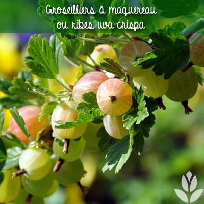 groseilliers à maquereau ribes uva-crispa