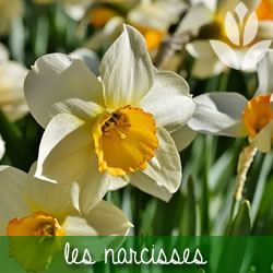 narcisses rongeurs