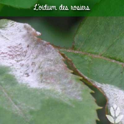 oïum sur feuilles des rosiers