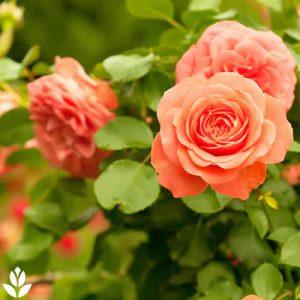 rosiers au jardin