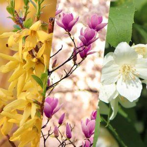 3 arbustes à floraison printanière