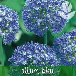 allium bleu