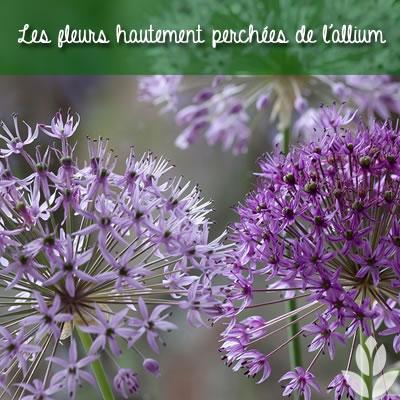 les fleurs hautement perchées des alliums