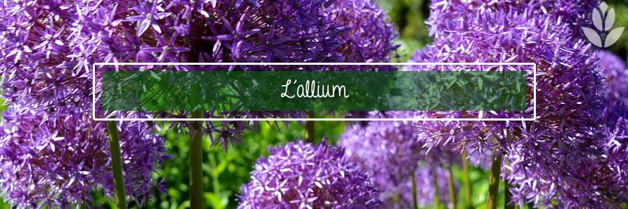 l'allium pour le jardin