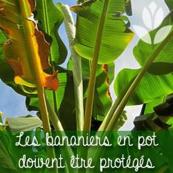bananiers en pot protégés du froid