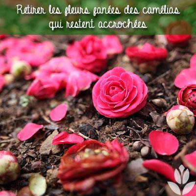 retirer les fleurs de camélias