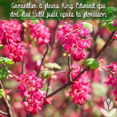 taille du groseillier à fleur après la floraison