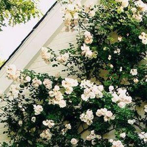 zoom sur les rosiers grimpants du jardin