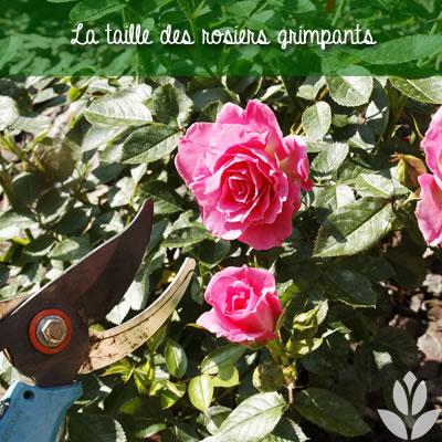 les taille des rosiers grimpants du jardin