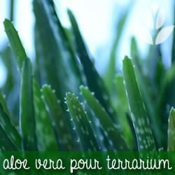 aloe vera pour terrarium