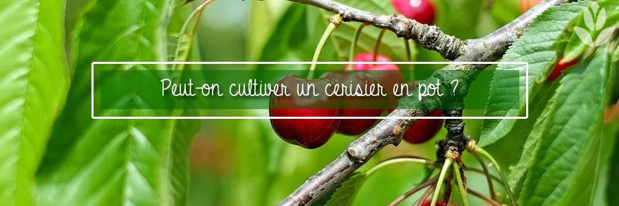peut on cultiver un cerisier en pot ?