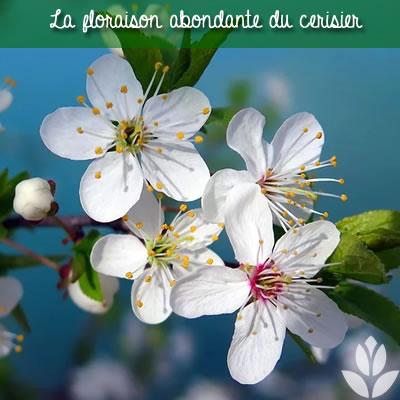 cerisier floraison abondante