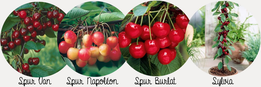 les 4 meilleurs cerisiers pour pot