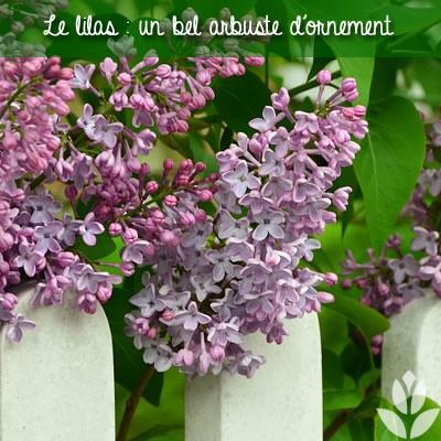lilas : une bel arbuste d'ornement