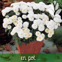 planter les marguerites en pot