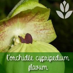 orchidee cypripedium flavum