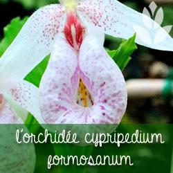 orchidee cypripedium formosanum