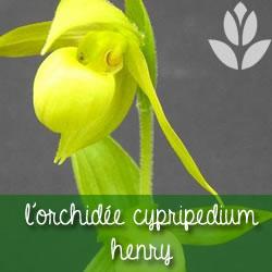 orchidee_cypripedium_henry