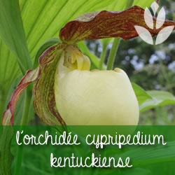 orchidee cypripedium kentuckiense