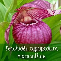 orchidee cypripedium macranthos