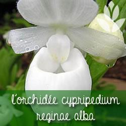 orchidee_cypripedium reginae alba