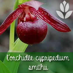 orchidee cypripedium smithii