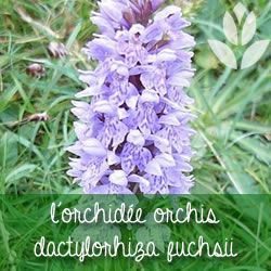orchidee dactylorhiza fuchsii